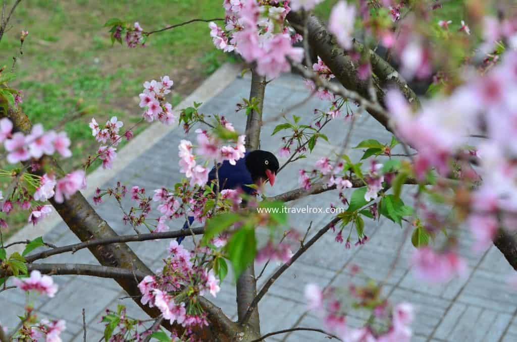 bird on a sakura tree