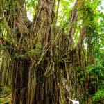 The Famous and Oldest Balete Tree in Siquijor