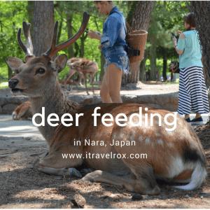 deer feeding nara japan 01
