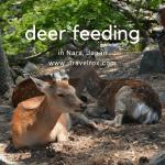 Deer Feeding in Nara, Japan 2015