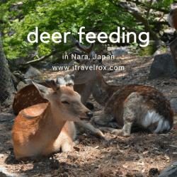 deer feeding nara japan 02