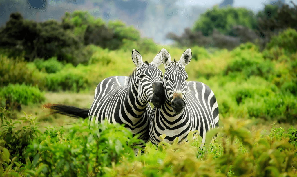 Safari Holiday zebra