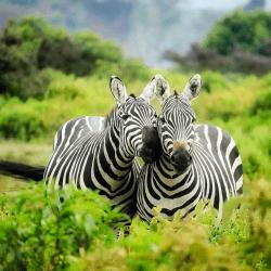 Safari Holiday zebra